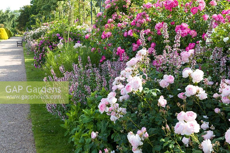 The David Austin Rose Border runs along The Trellis Walk. It includes shrub roses chosen for their beautiful flowers as well as fragrance and reliability. Most are David Austin's English Roses together with with Old Roses and Hybrid Musks. The border was designed by Michael Marriott of David Austin Roses.