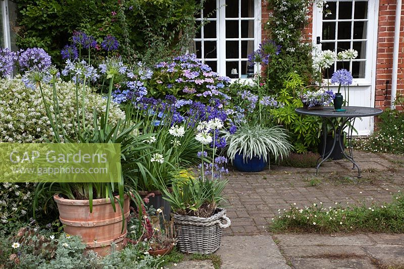 Agapanthus in a patio setting
