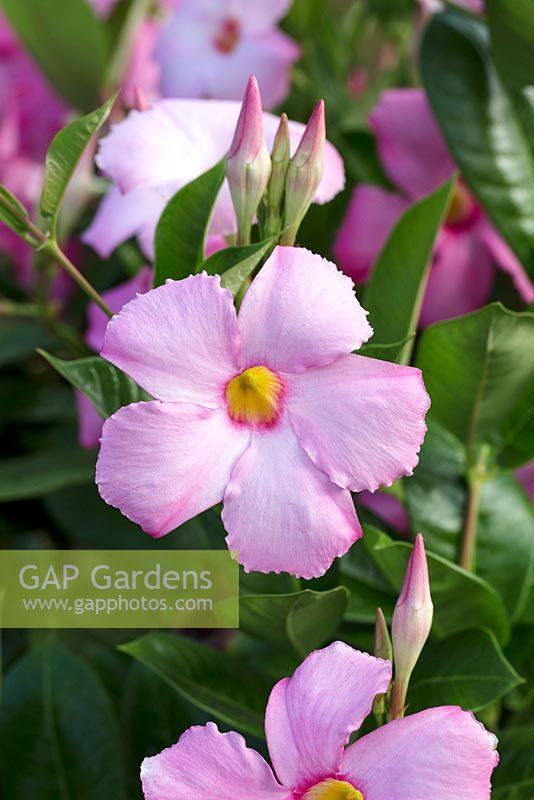 Gap Gardens Mandevilla Sun Parasol Giant Pink Image No