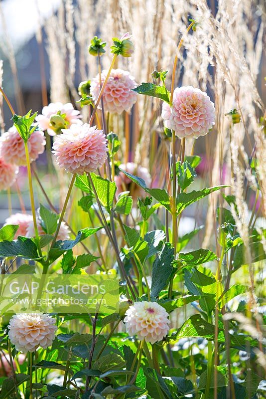 Dahlia Wine Eyed Jill with Calamagrostis 'Karl Foerster', Jo Thompson garden Design, Ticehurst, East Sussex