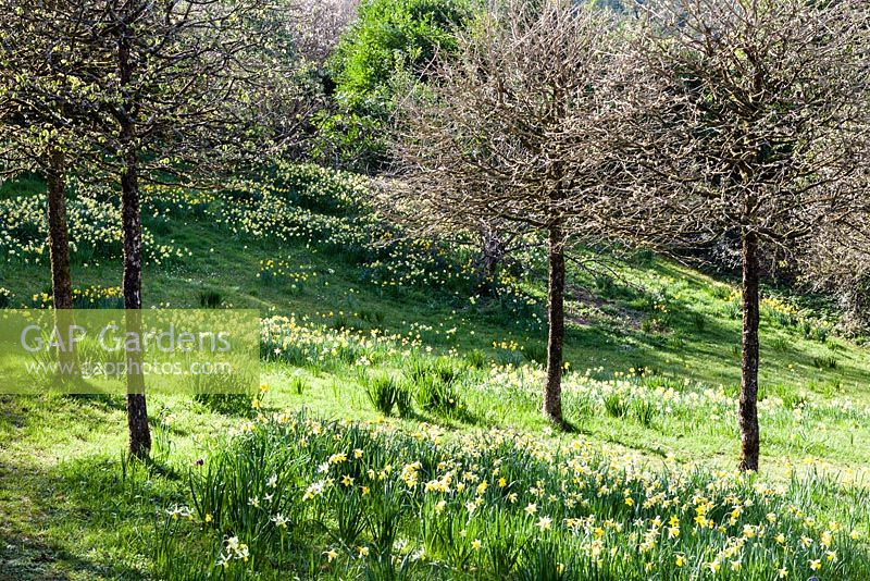 The Meadow with Narcissus and Corylus colurna grown as standards just coming into leaf. Veddw House Garden, Monmouthshire, South Wales. March 2017. Garden designed and created by Charles Hawes and Anne Wareham
