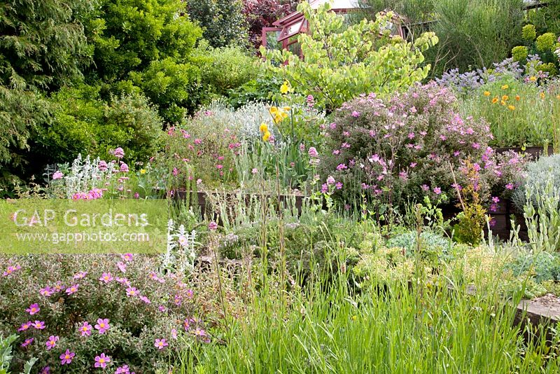 Terraced beds with Judas tree, Cistus, Stachys, Centranthus ruber, Euphorbia and Papaver rupifragum