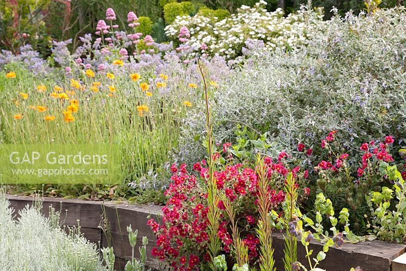Papaver rupifragum, red Valerian, Cistus,  Helianthemum 'Ben Ledi' in terraced bed