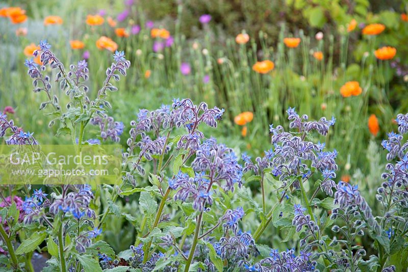 Borage in spring with Papaver rupifragum beyond