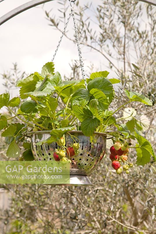 Strawberries growing in colander as decorative hanging container