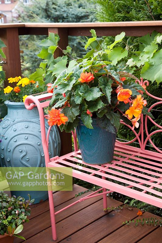 Decorative pot with Begonia on metal bench. Pattie Barron's terrace garden