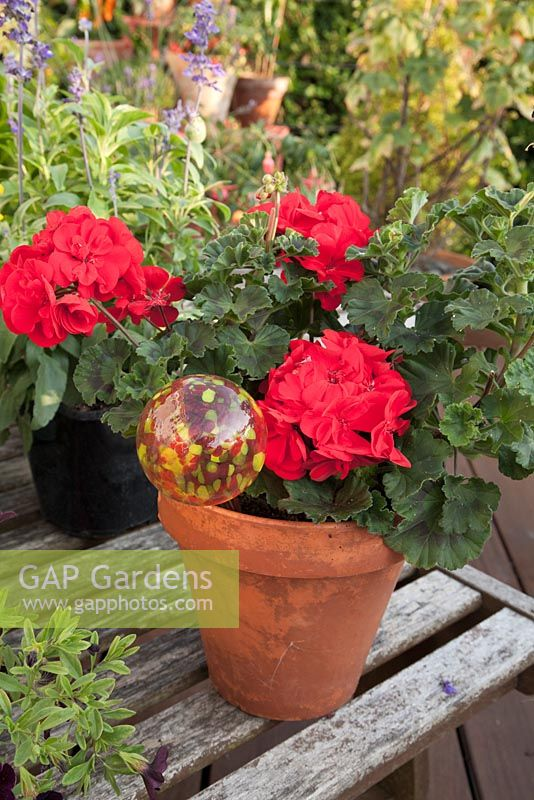 Colourful Geranium with decorative glass watering globe plant stake in terracotta container on wooden table. Patio garden. Owner: Pattie Barron, garden writer