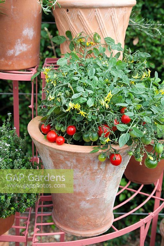 Tomatoes growing in terracotta container on metal plant stand. Patio garden. Owner: Pattie Barron, garden writer