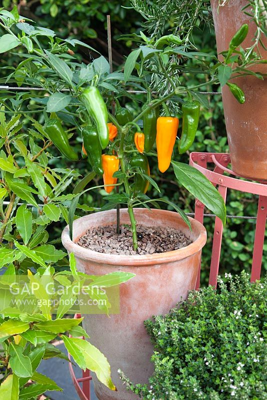 Peppers and herbs growing in terracotta container on metal plant stand. Patio garden. Owner: Pattie Barron, garden writer