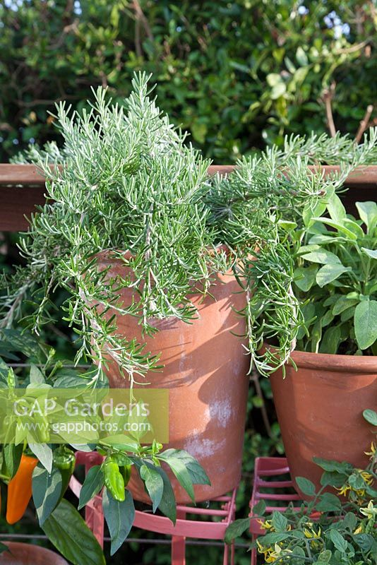 Rosemary growing in terracotta container on metal plant stand. Patio garden. Owner: Pattie Barron, garden writer