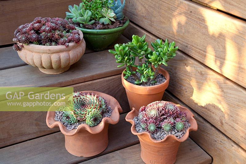 Decorative terracotta pots on wooden steps with mixed Succulents. Patio garden. Owner: Pattie Barron, garden writer