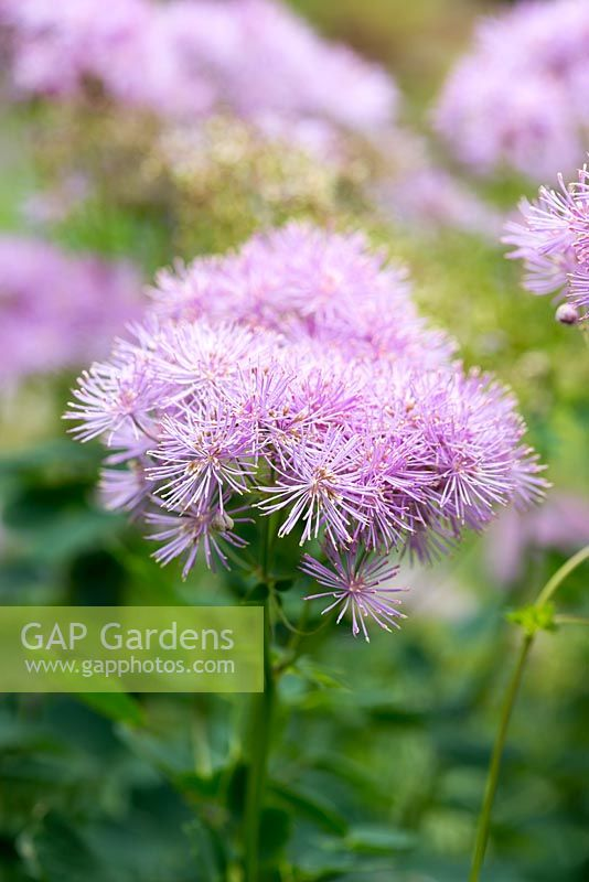 Gap gardens thalictrum aquilegifolium meadow rue a herbaceous thalictrum aquilegifolium meadow rue a herbaceous perennial producing stems with fluffy heads of small mightylinksfo