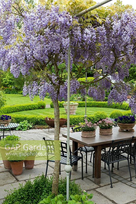 A Pergola Bears The Fragrant Climber, Wisteria Sinensis, Chinese Wisteria,  Above A Terrace With Dining Table And Pots Of Pink Diascia And Blue Petunia.