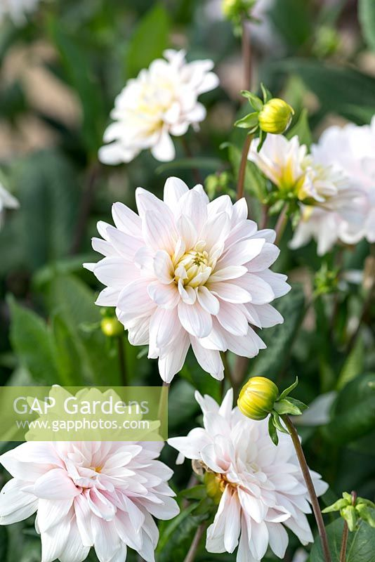 Gap gardens dahlia silver years a small waterlily type dahlia dahlia silver years a small waterlily type dahlia producing pale pink and white mightylinksfo