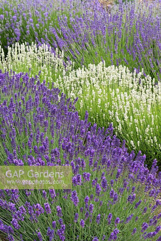 Waves of angustifolia lavenders bottom to top: 'Loddon Blue', 'Blue Mountain White', 'Royal Purple' and 'Cedar Blue'.