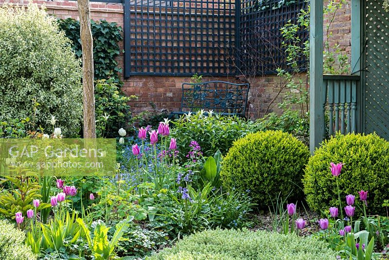 A walled town garden with metal corner bench behind a border of tulips, bluebells, forget-me-nots and box balls.