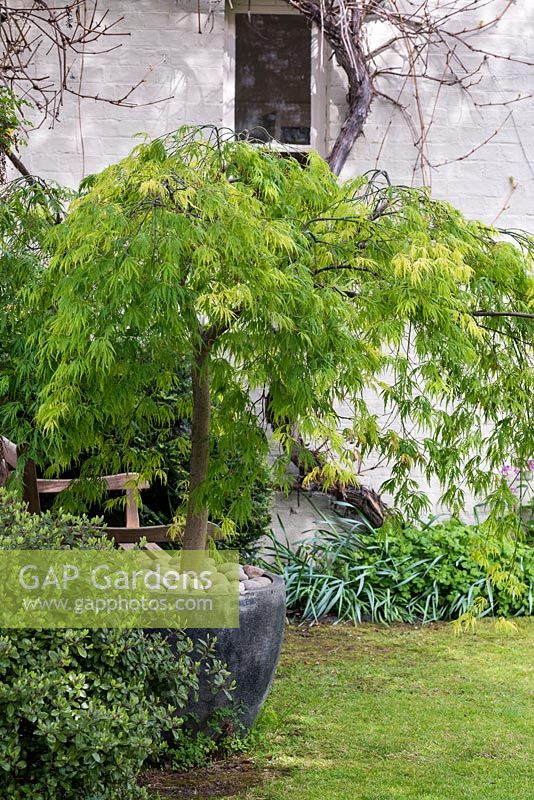Acer dissectum planted in a contemporary glazed pot alongside a wooden bench.