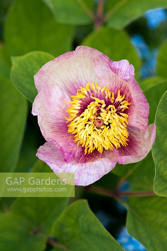 Paeonia mlokosewitschii hybrid, a herbaceous perennial peony with single pale pink flowers.