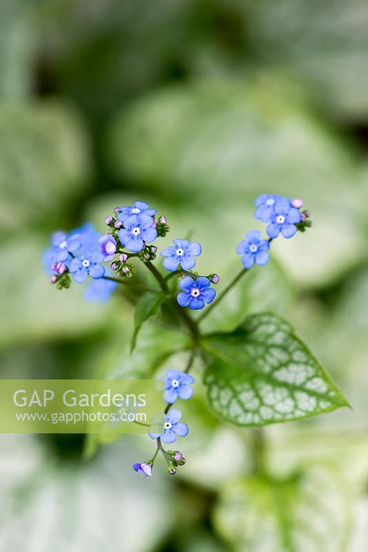 Brunnera macrophylla 'Jack Frost', a Siberian bugloss with silver heart-shaped leaves and tall sprays of tiny, bright blue flowers.