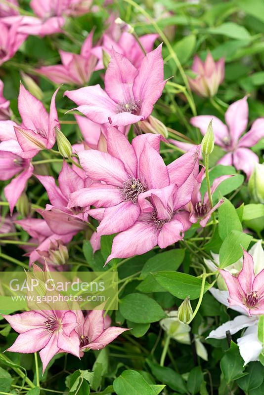 Gap gardens clematis giselle a long flowering clematis with clematis giselle a long flowering clematis with deep pink flowers to start which mightylinksfo