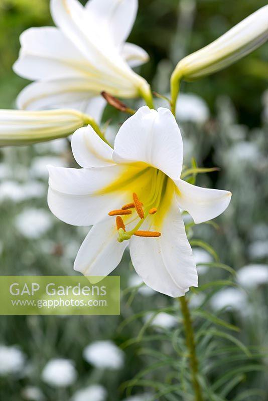 Gap gardens lilium regale regal lily a bulb bearing very lilium regale regal lily a bulb bearing very fragrant trumpet shaped white flowers mightylinksfo