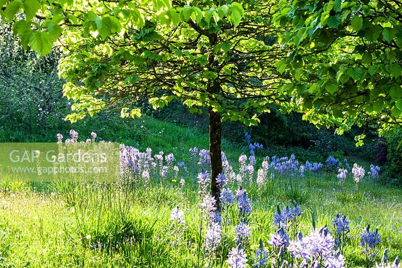 Camassia subsp. leichtlinii -  in the Meadow. Corylus colurna. Veddw House Garden, Monmouthshire, Wales. May. Garden designed and created by Anne Wareham and Charles Hawes