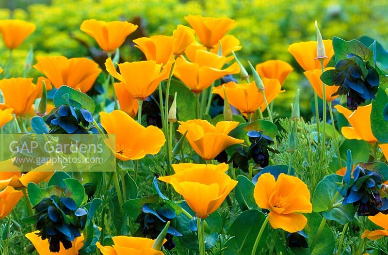 Eschscholtzia californica - Californian poppy with Cerinthe major 'Purpurascens' - Honeywort