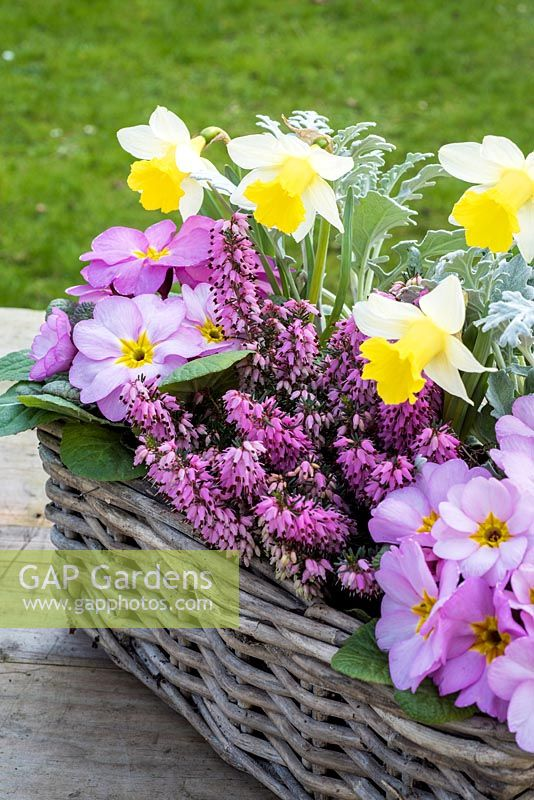 Spring container with senecio, pink primulas and erica and Narcissus 'Topolino'