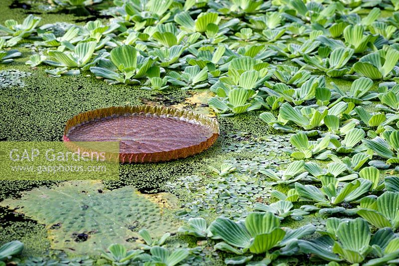 Amazon water lily, Victoria amazonica, growing amongst Pistia stratiotes, water cabbage, at Bristol University Botanic Gardens