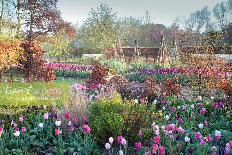 Colourful spring planting of mixed Tulipa -'Barcelona', 'Shirley', 'Survivor', 'China Pink', 'Queen of the Night', 'Hot Pants', Heuchera 'Amethyst', Pennisetum orientale, Penstemon 'Devonshire Cream' Beech hedging. Garden: Ulting Wick, Essex. Owner: Philippa Burrough