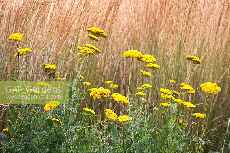 Achillea filipendulina 'Cloth of Gold' in front of Calamagrostis acutiflora 'Karl Foerster'