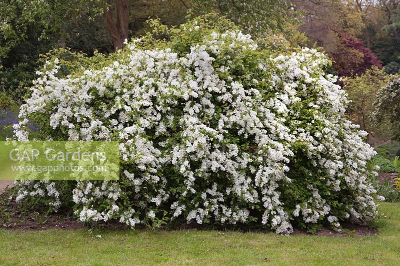gap gardens exochorda x macrantha 39 the bride 39 pearl bush april cheshire image no. Black Bedroom Furniture Sets. Home Design Ideas