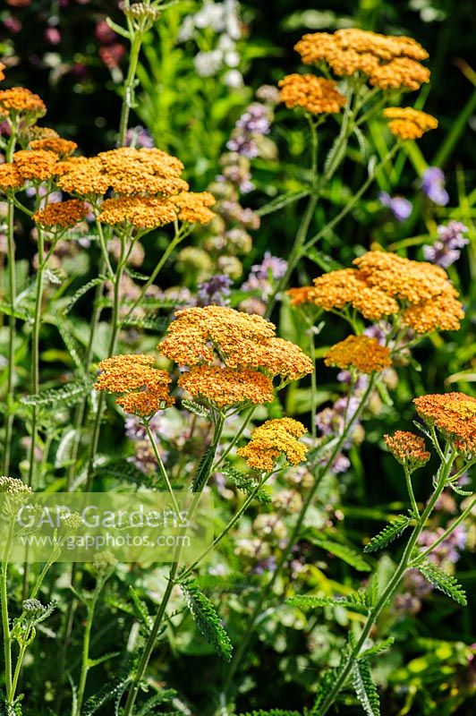 Achillea 'Terracotta'. Felley Priory, Underwood, Notts, UK
