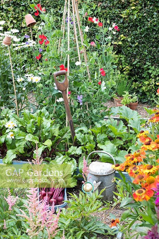 Potager garden with freshly pulled beetroot, 'Kestrel' F1, Sweet pea wigwam, 'Sweet chariot', Astilbes and Heleniums.
