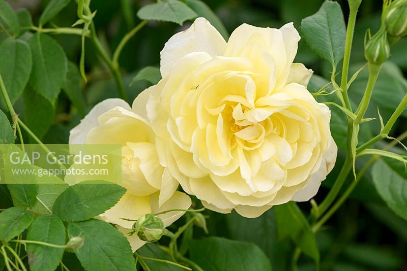 Rosa 'Vanessa Bell' - English Musk Hybrid, David Austin Roses - New for 2017