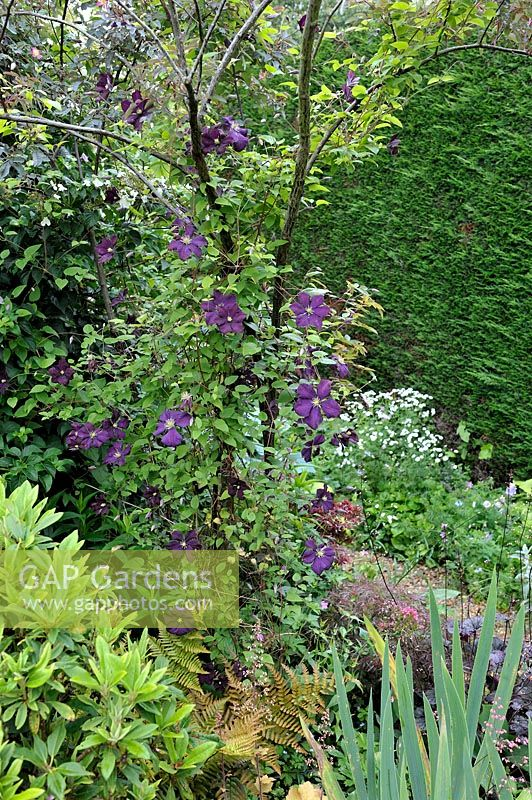 Clematis viticella 'Etoile Violette' - Purple Clematis climbing in a Rose tree