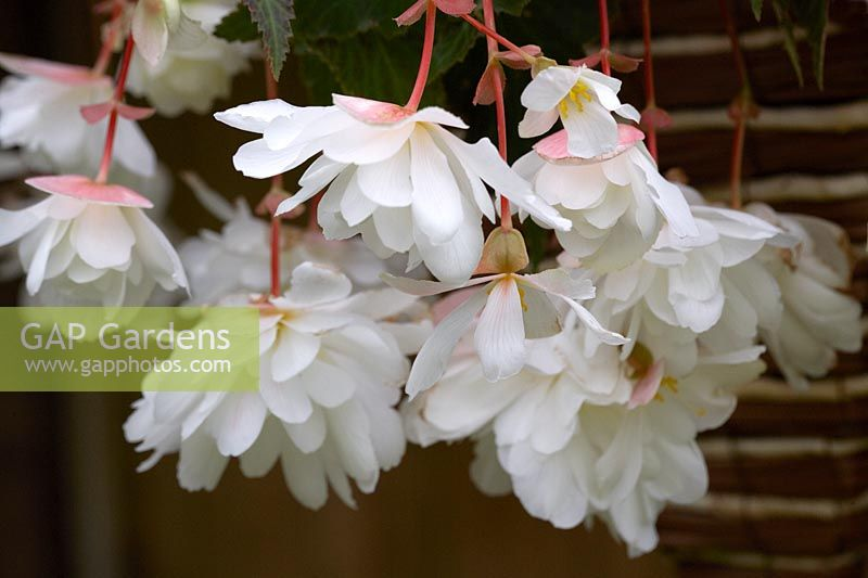 Begonia Illumination 'White Sparkle' in hanging basket.