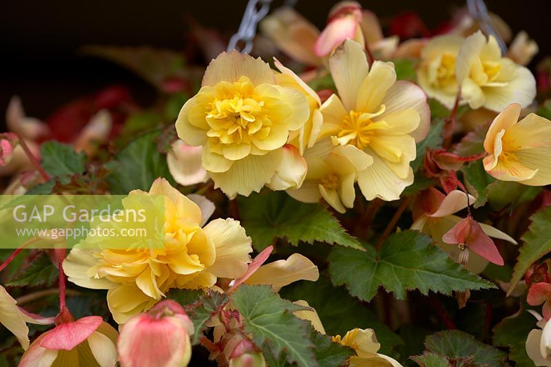 Begonia Illumination 'Peaches and Cream'