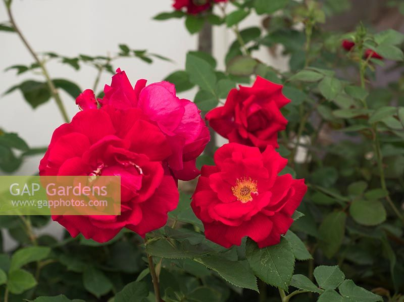 Rosa 'Lovestruck' - RHS Rose of the Year 2018