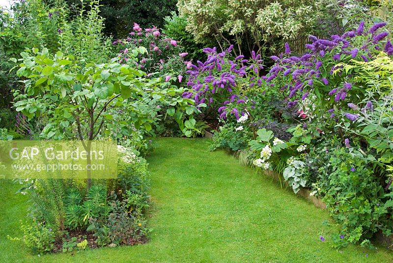 Garden view with pink and purple buddleias and quince tree