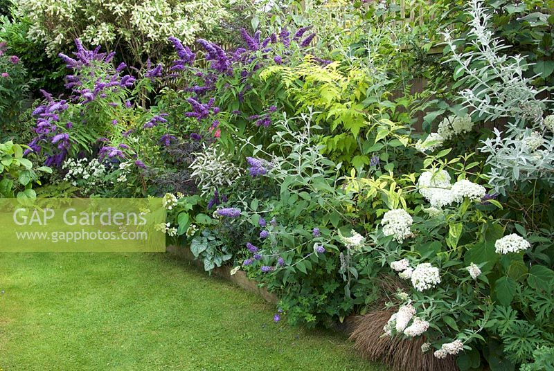 Border with flowering purple buddlejas and white hydrangeas