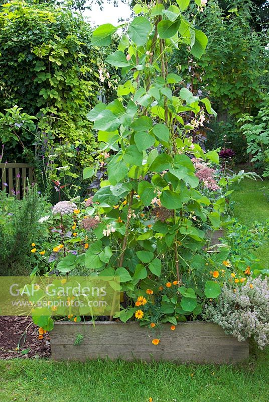 Runner bean 'Sunset' in veg bed with flowers