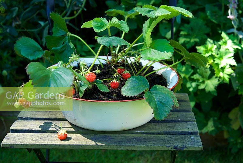 strawberries growing in vintage enamel bowl on painted green chair
