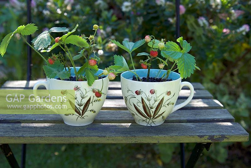 Woodland strawberries in china cups on painted green chair