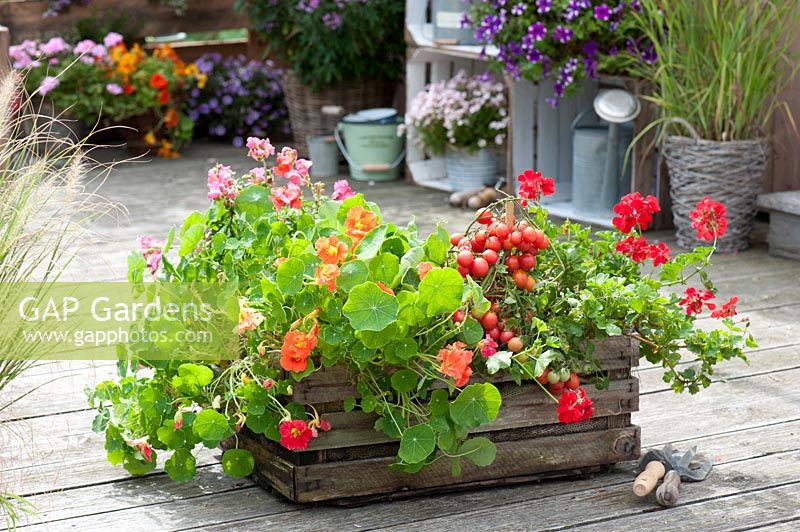 Old wooden crate planted with tomatoes, nasturtiums and pelargoniums