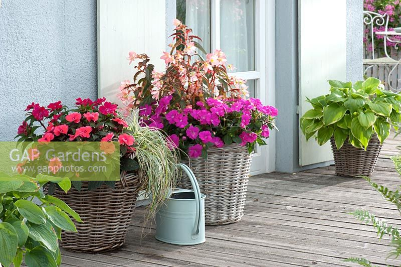 Impatiens Neu-Guinea and Begonia Summerwings 'Apricot in baskets