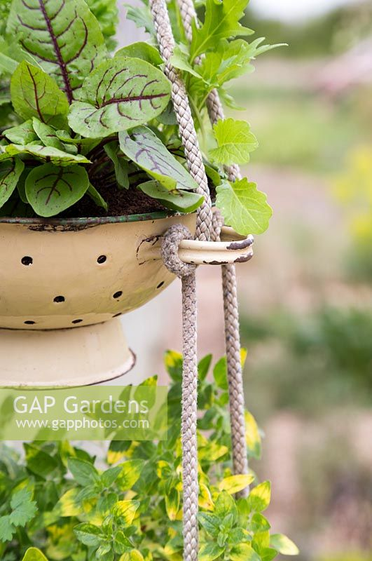 Herb hanging colander filled mixed salad and herbs