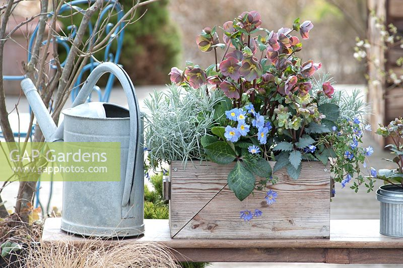 Helleborus x sternii 'Silver Shadow', Helleborus orientalis and Primula in wooden box