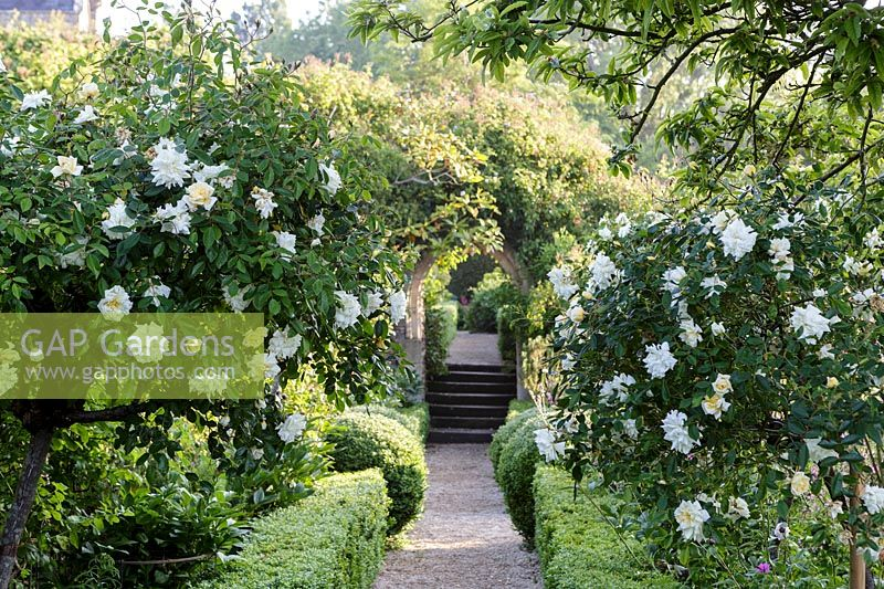 Rosa 'Felicite Perpetue'. Hanham Court Gardens, Bristol. Early summer garden with parterre and white roses