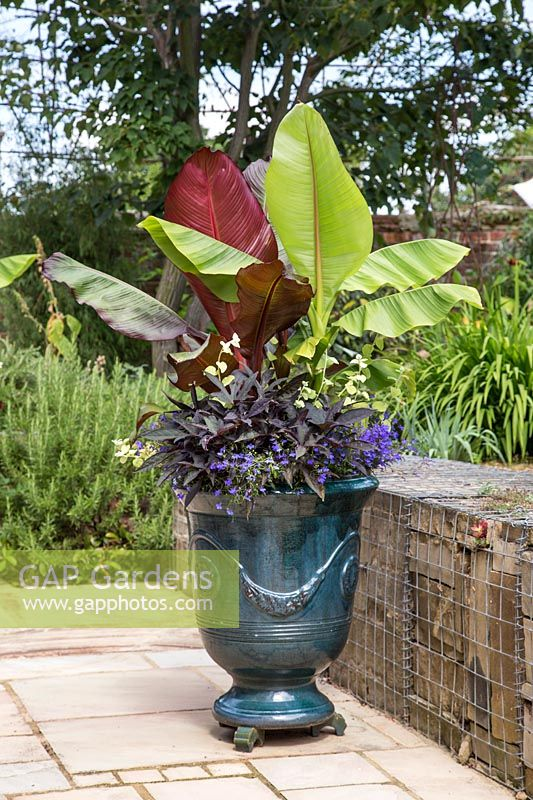 Glazed french pot with Ensete 'Maurelii', Musa basjoo, Ipomoea 'Bright Ideas Black', Helichrysum Gold and Lobelia 'Compact Dark Blue'